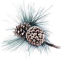 Linden Lodge pinecones